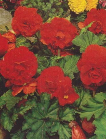 Begonia double rouge